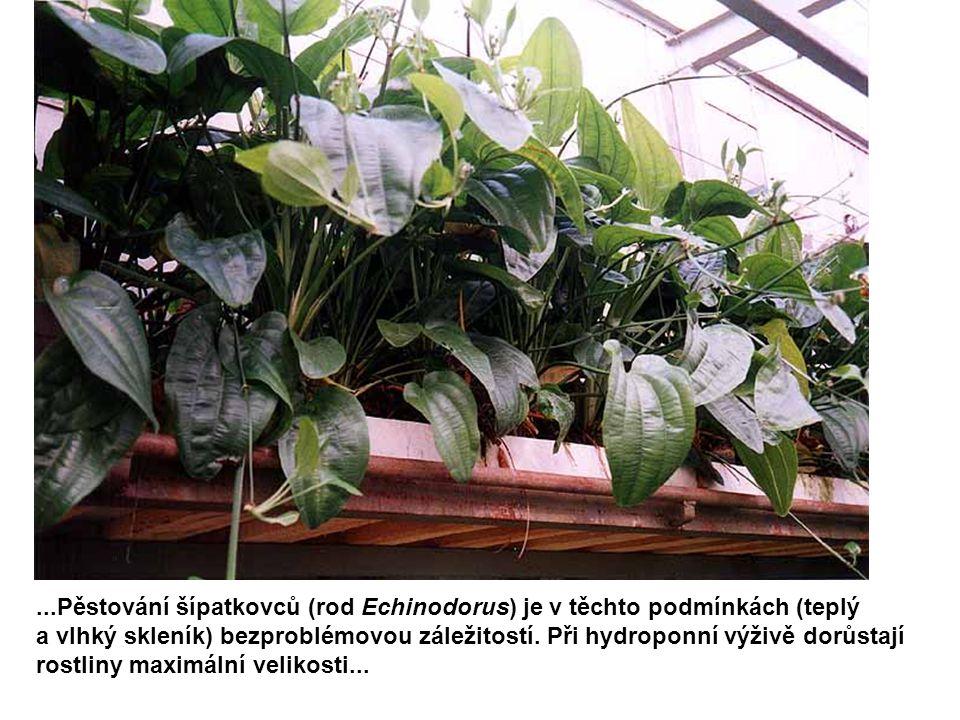 ...Pěstování šípatkovců (rod Echinodorus) je v těchto podmínkách (teplý a vlhký skleník) bezproblémovou záležitostí. Při hydroponní výživě dorůstají r