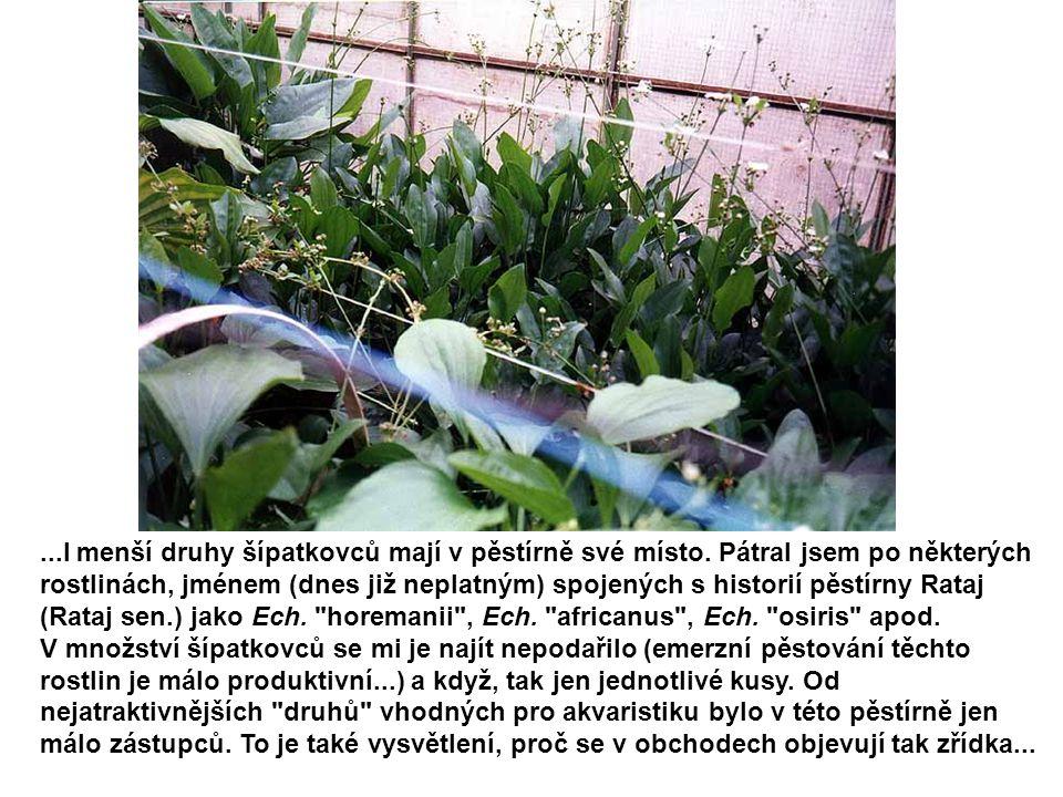 ...I menší druhy šípatkovců mají v pěstírně své místo. Pátral jsem po některých rostlinách, jménem (dnes již neplatným) spojených s historií pěstírny