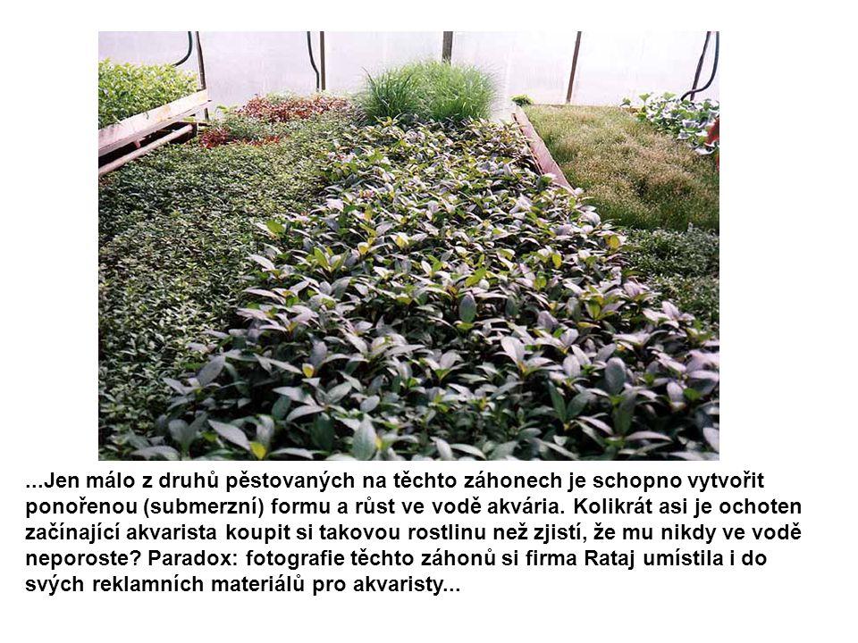 ...Jen málo z druhů pěstovaných na těchto záhonech je schopno vytvořit ponořenou (submerzní) formu a růst ve vodě akvária. Kolikrát asi je ochoten zač