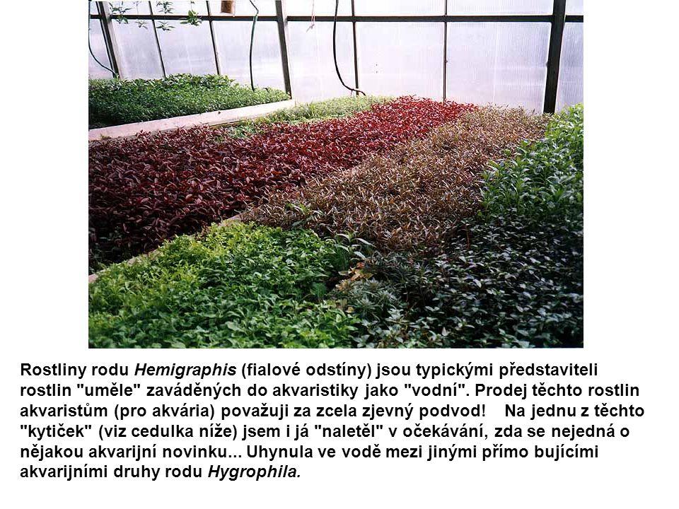 Rostliny rodu Hemigraphis (fialové odstíny) jsou typickými představiteli rostlin uměle zaváděných do akvaristiky jako vodní .