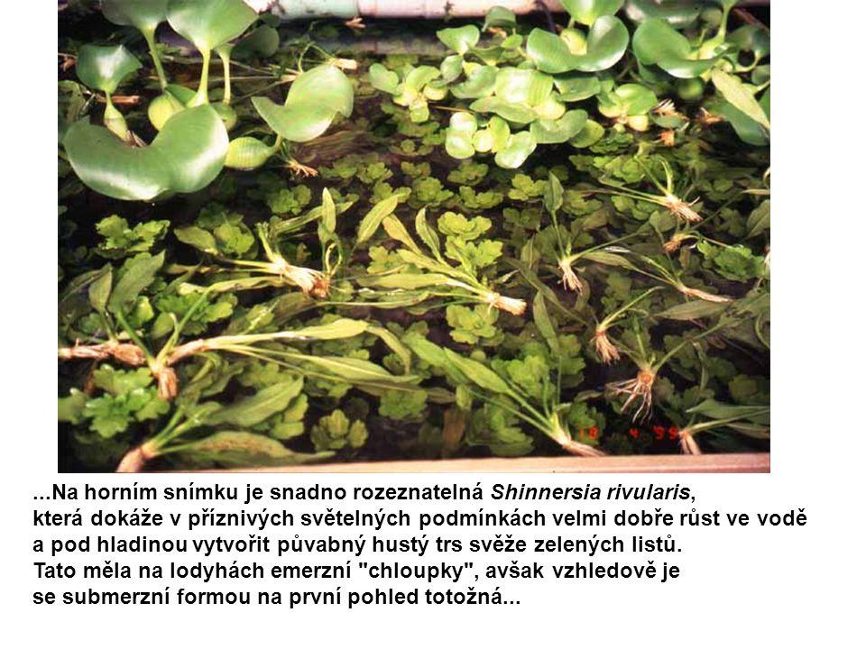 ...Na horním snímku je snadno rozeznatelná Shinnersia rivularis, která dokáže v příznivých světelných podmínkách velmi dobře růst ve vodě a pod hladin