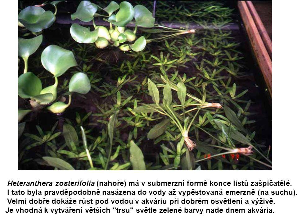 Heteranthera zosterifolia (nahoře) má v submerzní formě konce listů zašpičatělé. I tato byla pravděpodobně nasázena do vody až vypěstovaná emerzně (na