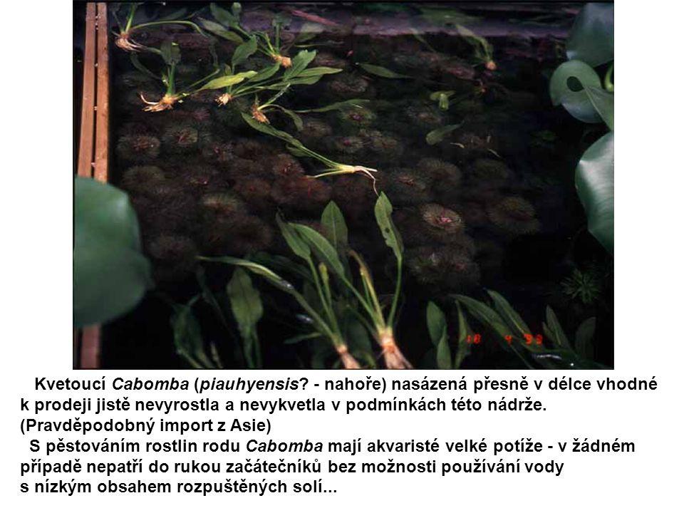 Kvetoucí Cabomba (piauhyensis? - nahoře) nasázená přesně v délce vhodné k prodeji jistě nevyrostla a nevykvetla v podmínkách této nádrže. (Pravděpodob