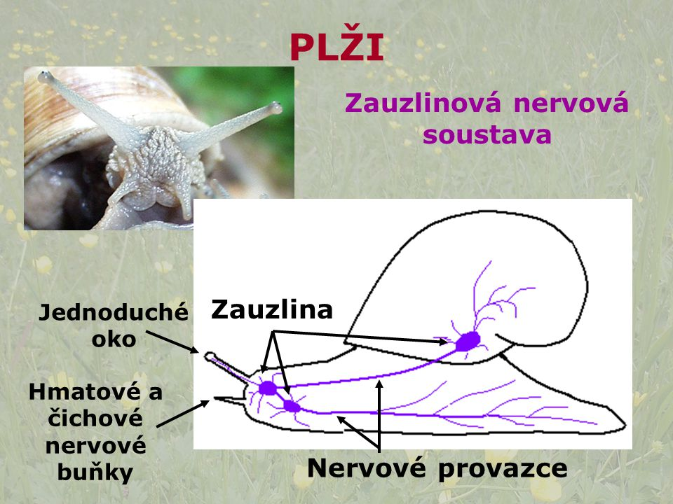 Zauzlina Hmatové a čichové nervové buňky Jednoduché oko Zauzlinová nervová soustava Nervové provazce