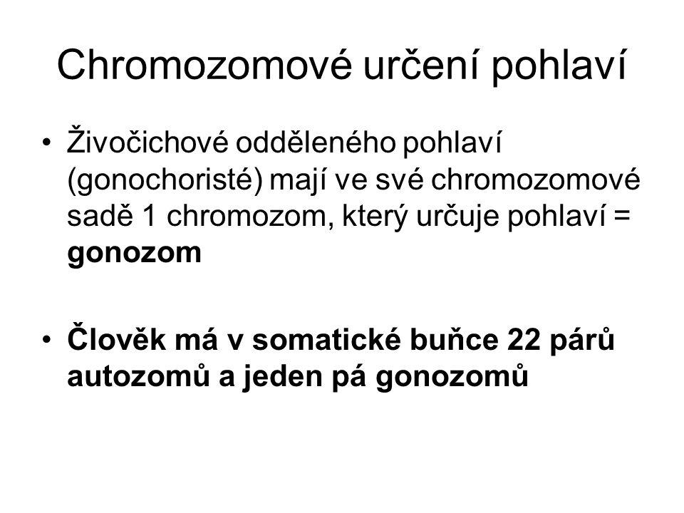 Chromozomové určení pohlaví Živočichové odděleného pohlaví (gonochoristé) mají ve své chromozomové sadě 1 chromozom, který určuje pohlaví = gonozom Čl