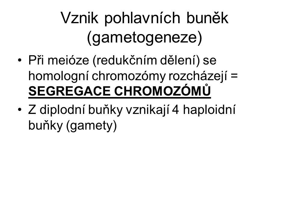 Vznik pohlavních buněk (gametogeneze) Při meióze (redukčním dělení) se homologní chromozómy rozcházejí = SEGREGACE CHROMOZÓMŮ Z diplodní buňky vznikaj