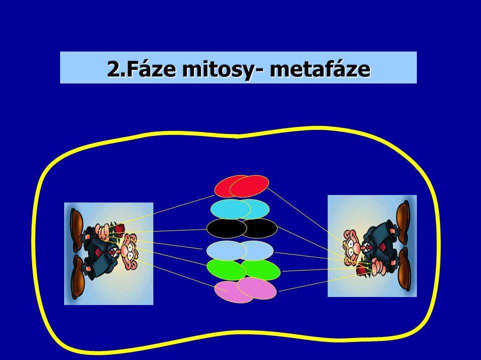 2 válečky Při buněčném dělení se zdvojí, vytvoří dělící vřeténka a rozděluje rovnoměrně chromozomy Centriol
