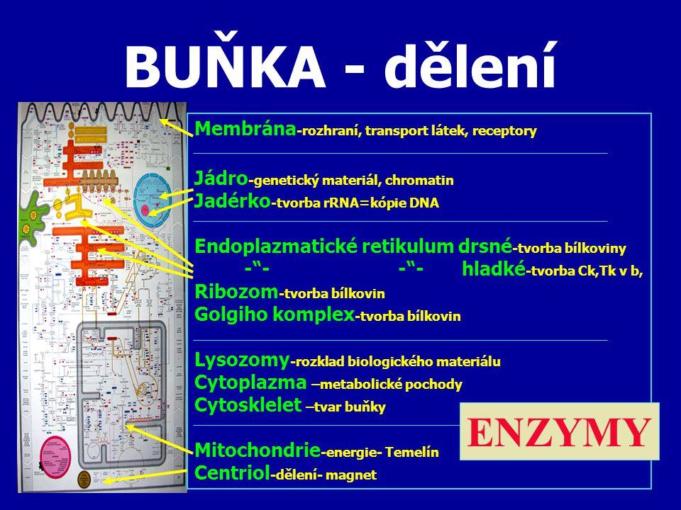 BUŇKA - dělení Membrána -rozhraní, transport látek, receptory Jádro -genetický materiál, chromatin Jadérko -tvorba rRNA=kópie DNA Endoplazmatické retikulum drsné -tvorba bílkoviny - - - - hladké -tvorba Ck,Tk v b, Ribozom -tvorba bílkovin Golgiho komplex -tvorba bílkovin Lysozomy -rozklad biologického materiálu Cytoplazma –metabolické pochody Cytosklelet –tvar buňky Mitochondrie -energie- Temelín Centriol -dělení- magnet ENZYMY