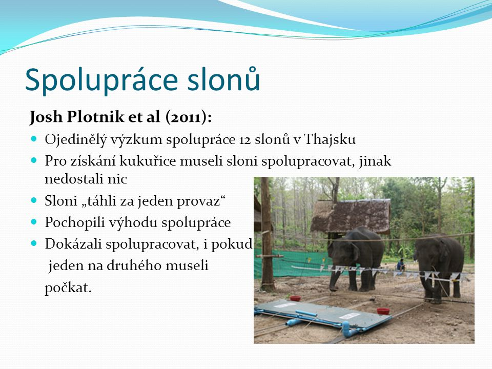 """Spolupráce slonů Josh Plotnik et al (2011): Ojedinělý výzkum spolupráce 12 slonů v Thajsku Pro získání kukuřice museli sloni spolupracovat, jinak nedostali nic Sloni """"táhli za jeden provaz Pochopili výhodu spolupráce Dokázali spolupracovat, i pokud jeden na druhého museli počkat."""