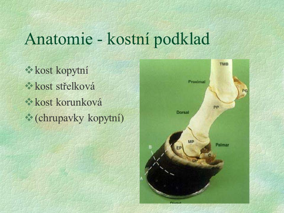 Anatomie - kostní podklad vkost kopytní vkost střelková vkost korunková v(chrupavky kopytní)
