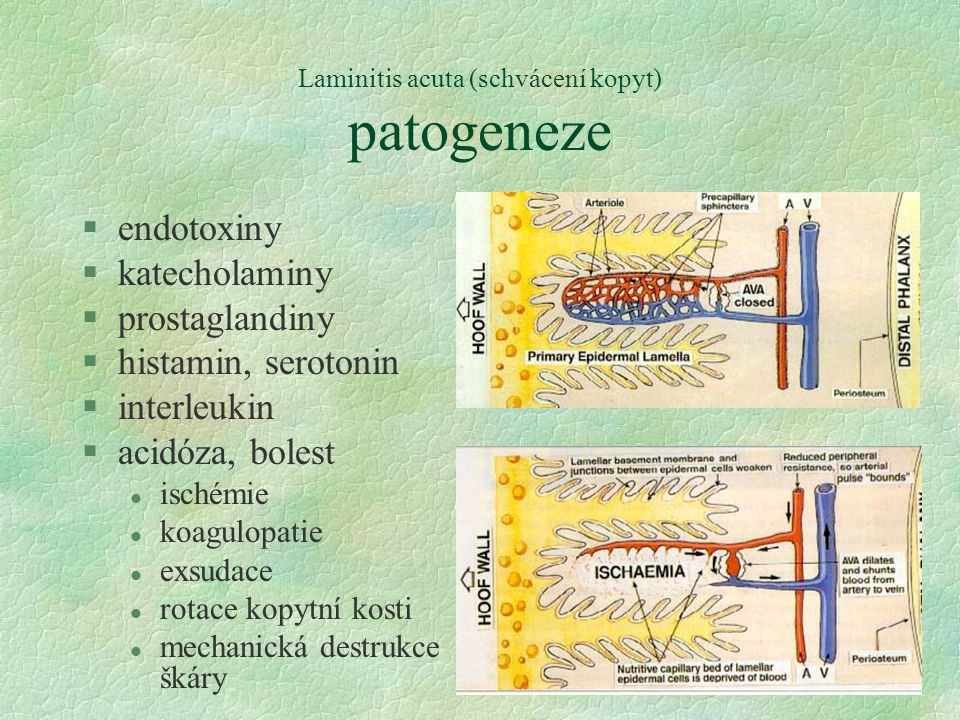 Laminitis acuta (schvácení kopyt) patogeneze §endotoxiny §katecholaminy §prostaglandiny §histamin, serotonin §interleukin §acidóza, bolest l ischémie