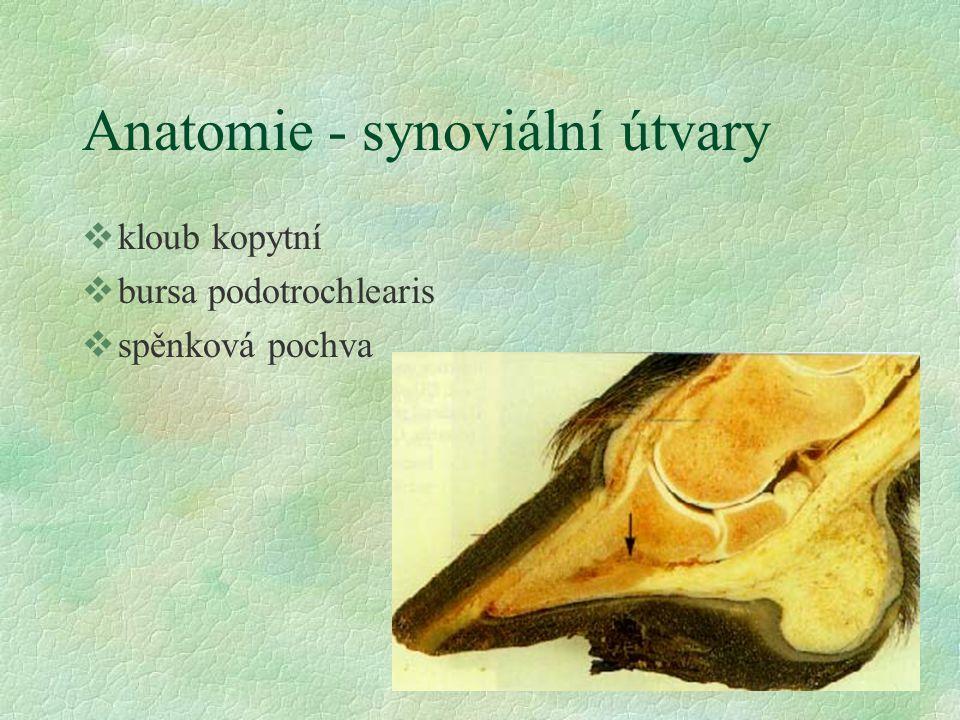 Anatomie - šlachy, vazy všlacha hlubokého ohýbače prstu všlacho společného natahovače prstu vsezamské vazy vligamentum sesamoideum impar