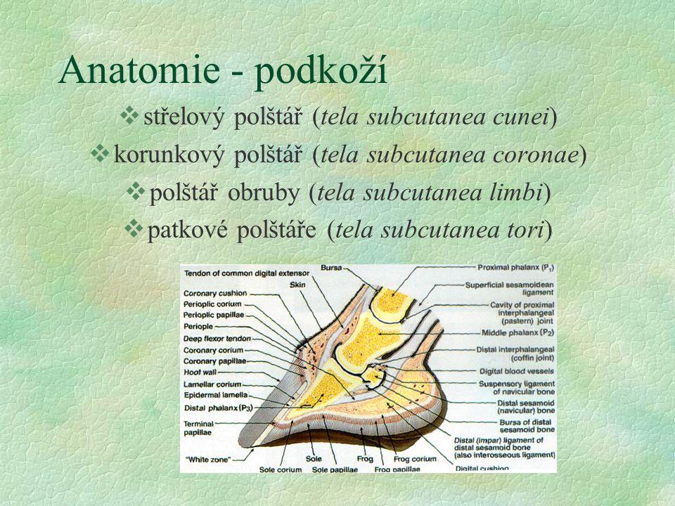 Anatomie - podkoží vstřelový polštář (tela subcutanea cunei) vkorunkový polštář (tela subcutanea coronae) vpolštář obruby (tela subcutanea limbi) vpat