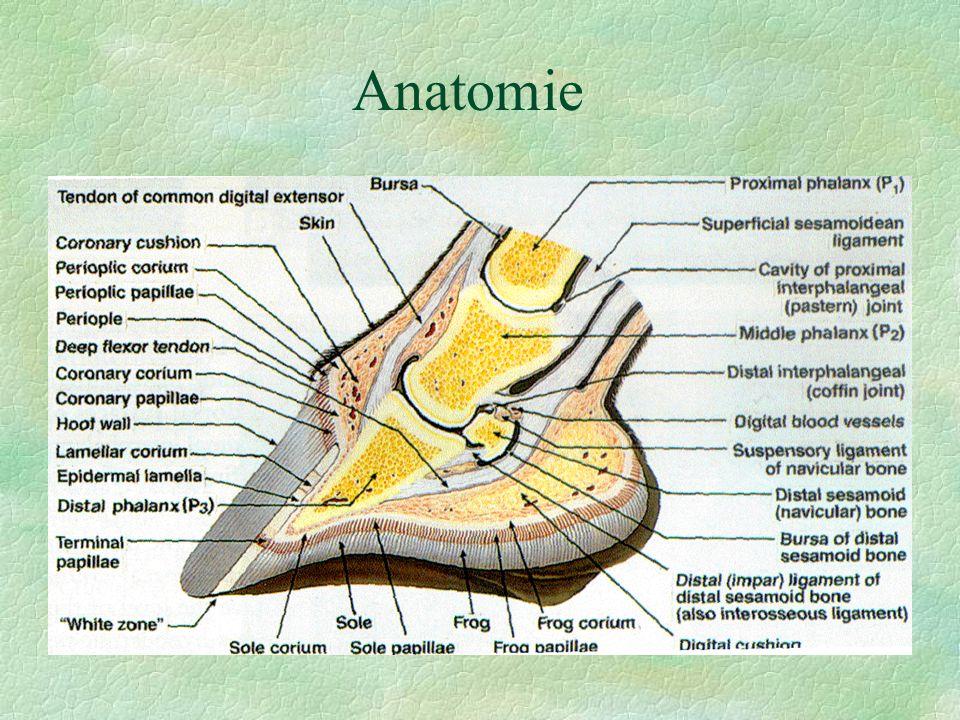 Laminitis acuta (schvácení kopyt) diagnostika