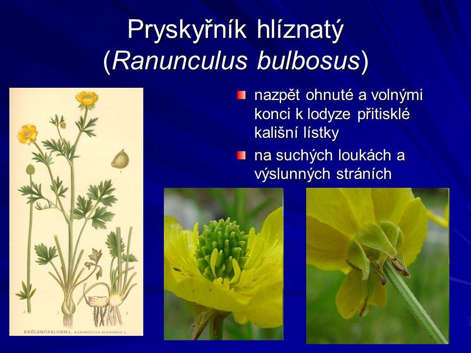 Pryskyřník hlíznatý (Ranunculus bulbosus) nazpět ohnuté a volnými konci k lodyze přitisklé kališní lístky na suchých loukách a výslunných stráních