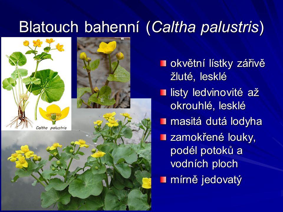 Blatouch bahenní (Caltha palustris) okvětní lístky zářivě žluté, lesklé listy ledvinovité až okrouhlé, lesklé masitá dutá lodyha zamokřené louky, podé