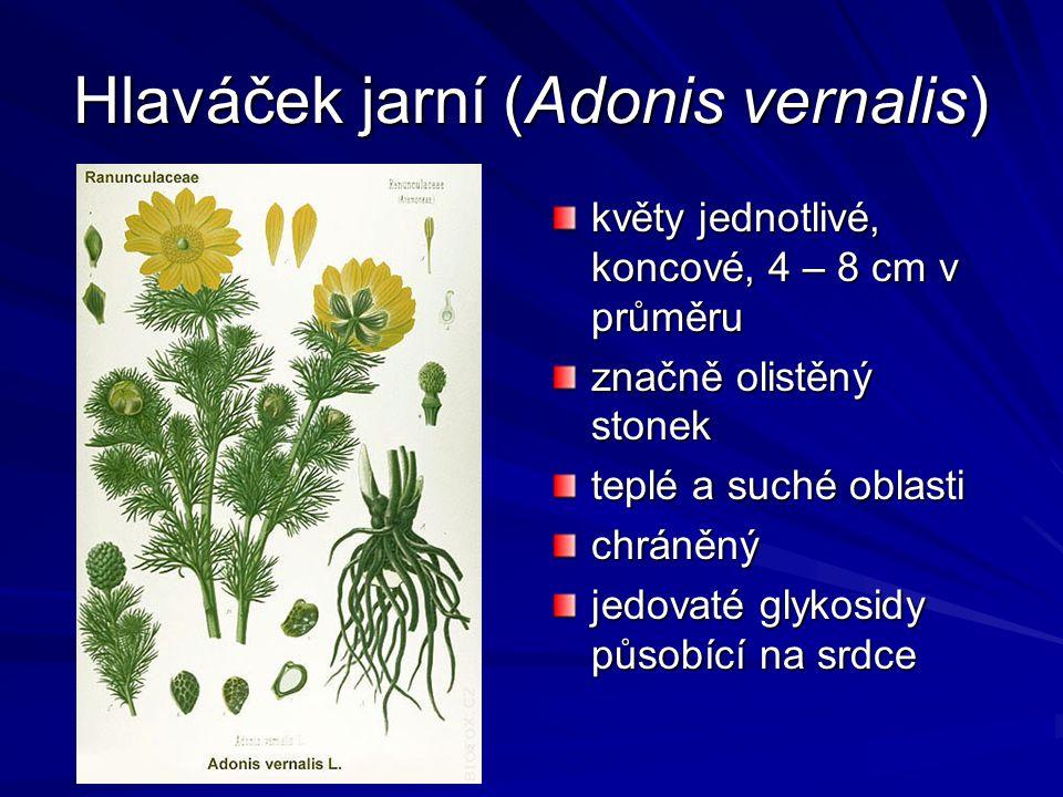 Hlaváček jarní (Adonis vernalis) květy jednotlivé, koncové, 4 – 8 cm v průměru značně olistěný stonek teplé a suché oblasti chráněný jedovaté glykosid