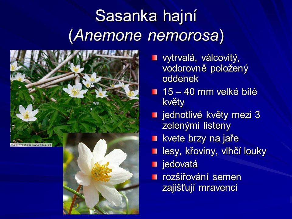 Sasanka hajní (Anemone nemorosa) vytrvalá, válcovitý, vodorovně položený oddenek 15 – 40 mm velké bílé květy jednotlivé květy mezi 3 zelenými listeny