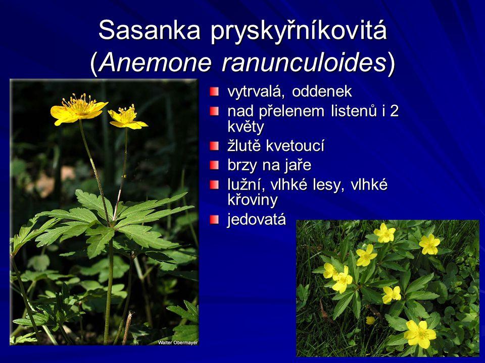Sasanka pryskyřníkovitá (Anemone ranunculoides) vytrvalá, oddenek nad přelenem listenů i 2 květy žlutě kvetoucí brzy na jaře lužní, vlhké lesy, vlhké