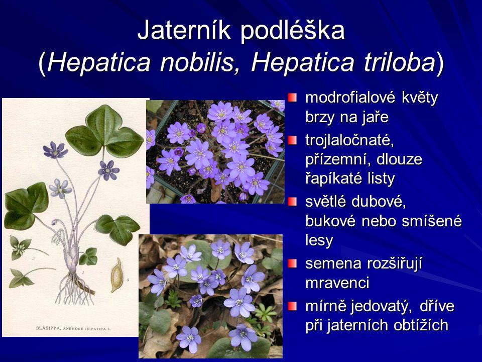 Jaterník podléška (Hepatica nobilis, Hepatica triloba) modrofialové květy brzy na jaře trojlaločnaté, přízemní, dlouze řapíkaté listy světlé dubové, b