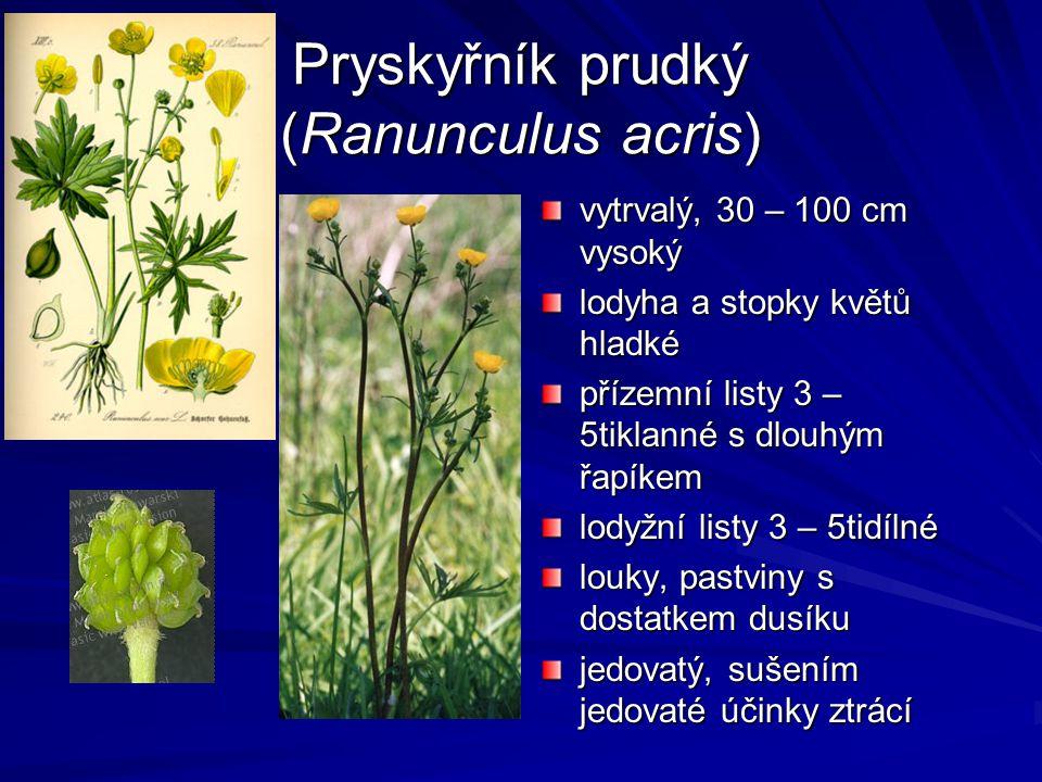 Pryskyřník prudký (Ranunculus acris) vytrvalý, 30 – 100 cm vysoký lodyha a stopky květů hladké přízemní listy 3 – 5tiklanné s dlouhým řapíkem lodyžní