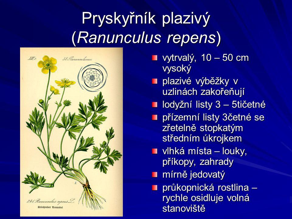 Pryskyřník plazivý (Ranunculus repens) vytrvalý, 10 – 50 cm vysoký plazivé výběžky v uzlinách zakořeňují lodyžní listy 3 – 5tičetné přízemní listy 3če