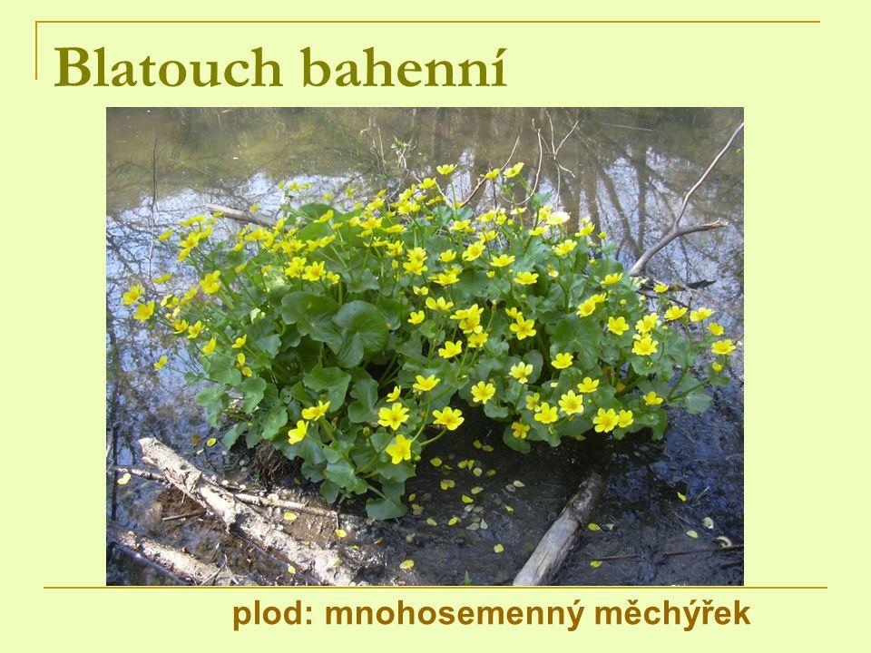 Blatouch bahenní plod: mnohosemenný měchýřek
