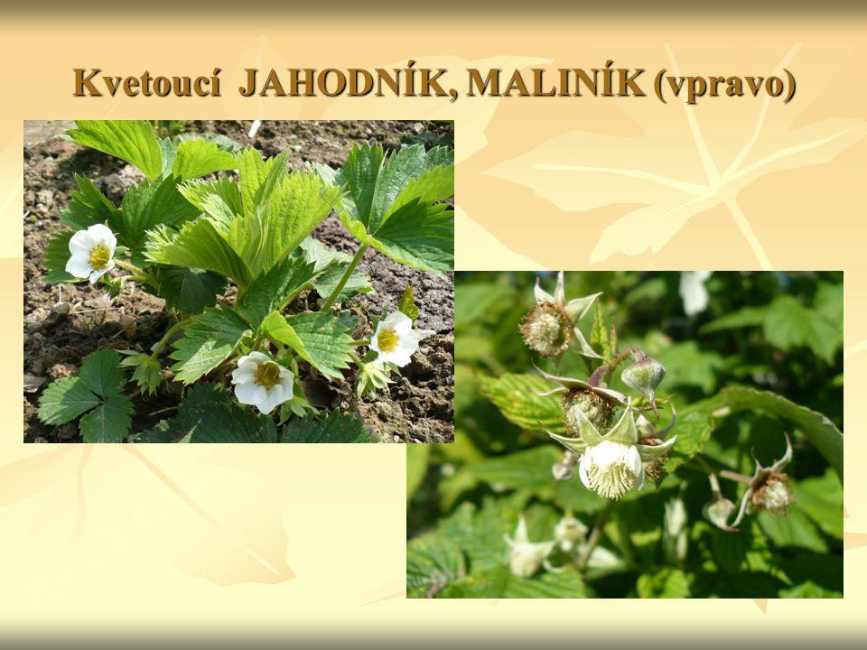 Kvetoucí JAHODNÍK, MALINÍK (vpravo)