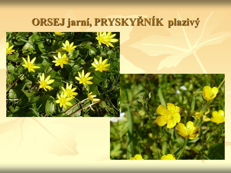 Čeleď: BOBOVITÉ Znaky: byliny i dřeviny byliny i dřeviny listy složené, u některých druhů úponky listy složené, u některých druhů úponky květy oboupohlavné (10 tyčinek + 1 pestík), květy oboupohlavné (10 tyčinek + 1 pestík), rozlišené na kalich a korunu (pavéza, křídla, člunek) rozlišené na kalich a korunu (pavéza, křídla, člunek) plod lusk plod lusk na kořenech hlízkové baktérie, které vážou vzdušný dusík ( → zelené hnojení): symbióza na kořenech hlízkové baktérie, které vážou vzdušný dusík ( → zelené hnojení): symbióza