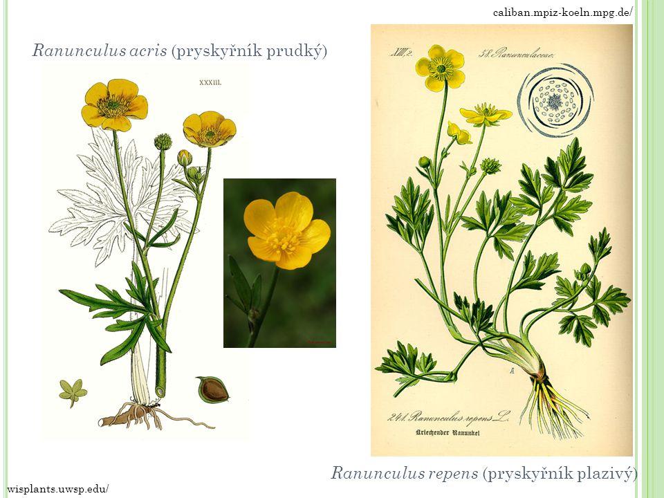 caliban.mpiz-koeln.mpg.de / wisplants.uwsp.edu/ Ranunculus repens (pryskyřník plazivý) Ranunculus acris (pryskyřník prudký)