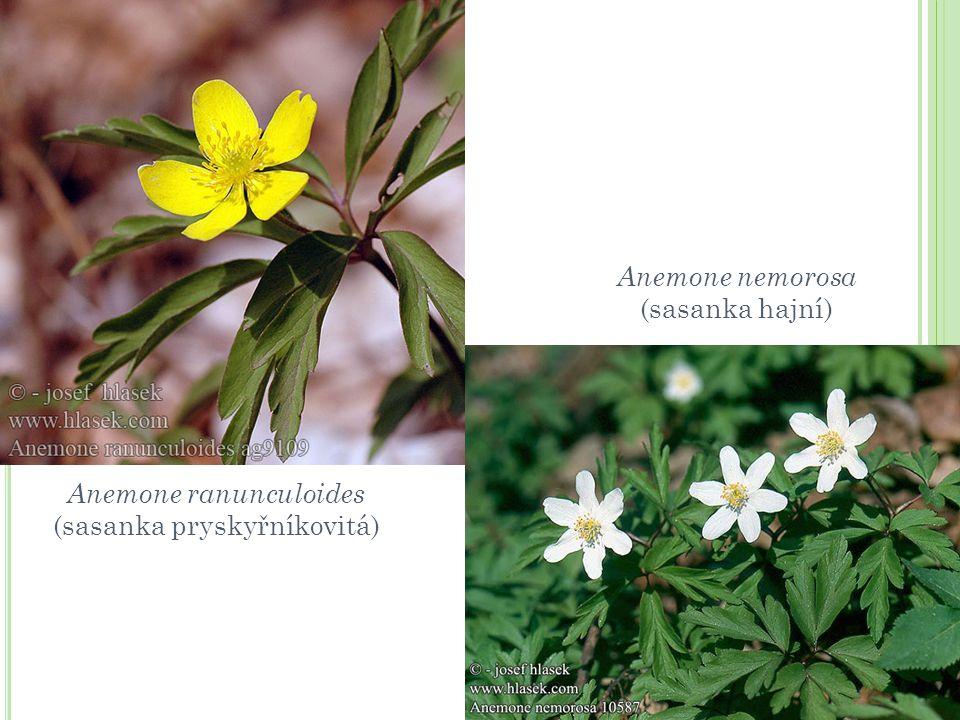Anemone nemorosa (sasanka hajní) Anemone ranunculoides (sasanka pryskyřníkovitá)