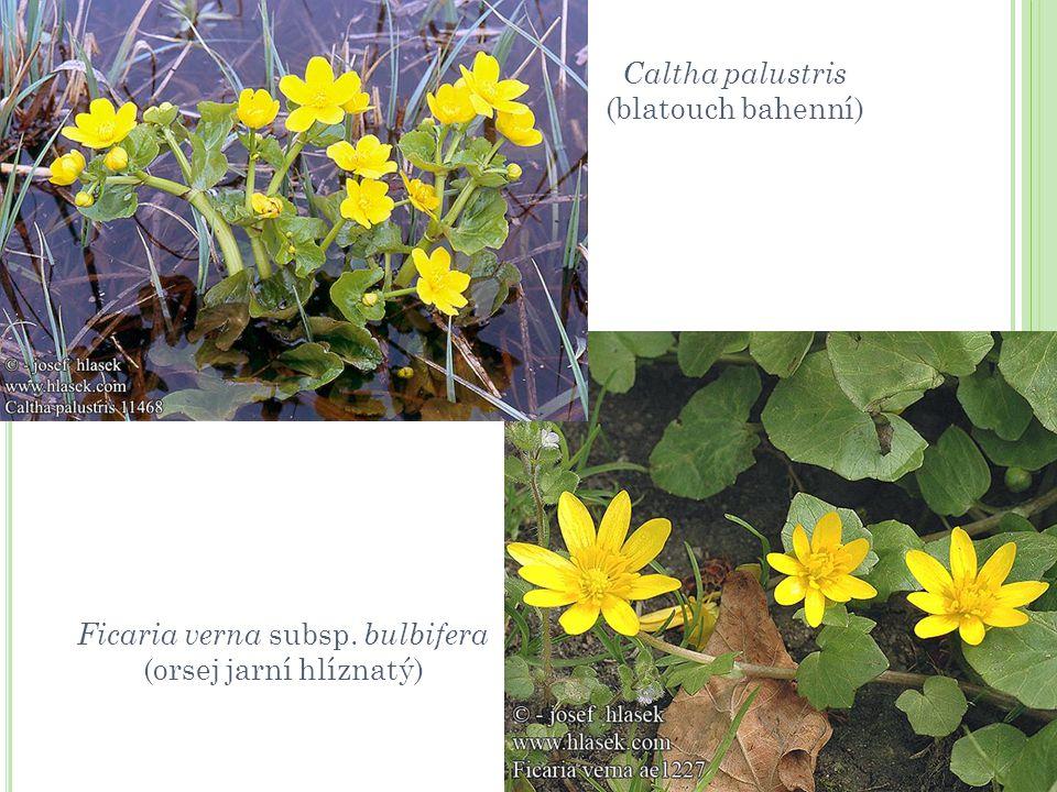 Caltha palustris (blatouch bahenní) Ficaria verna subsp. bulbifera (orsej jarní hlíznatý)
