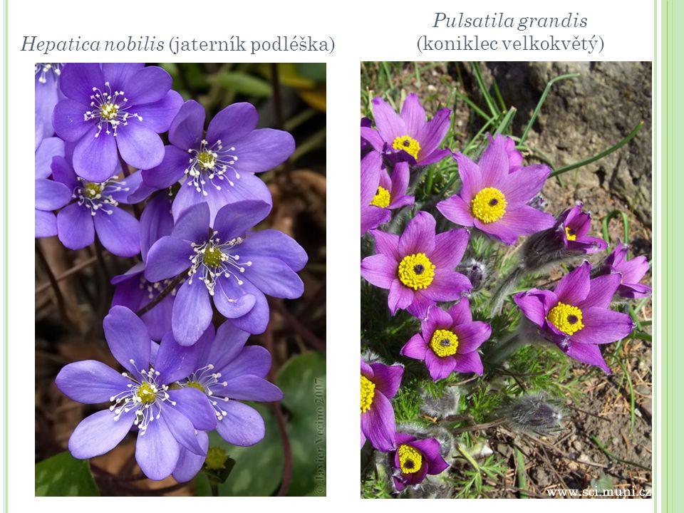 Hepatica nobilis (jaterník podléška) Pulsatila grandis (koniklec velkokvětý) www.sci.muni.cz