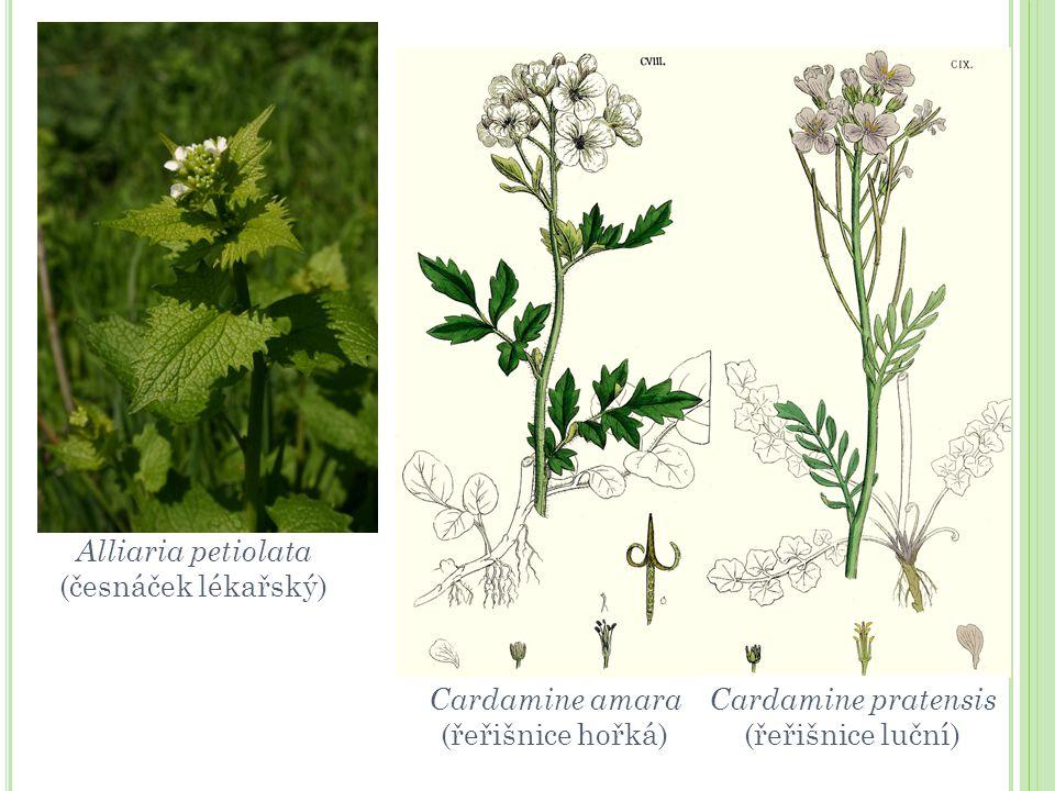 Alliaria petiolata (česnáček lékařský) Cardamine amara (řeřišnice hořká) Cardamine pratensis (řeřišnice luční)