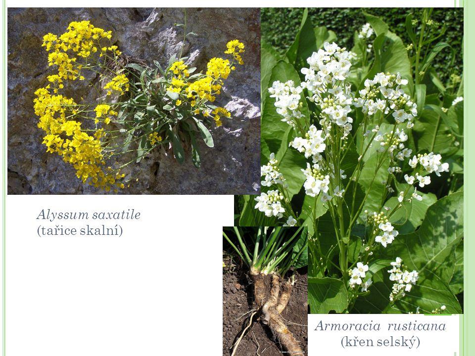 Alyssum saxatile (tařice skalní) Armoracia rusticana (křen selský)
