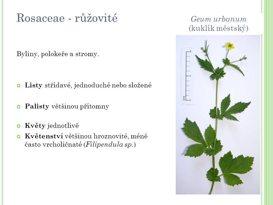 Rosaceae - růžovité Byliny, polokeře a stromy. Listy střídavé, jednoduché nebo složené Palisty většinou přítomny Květy jednotlivě Květenství většinou