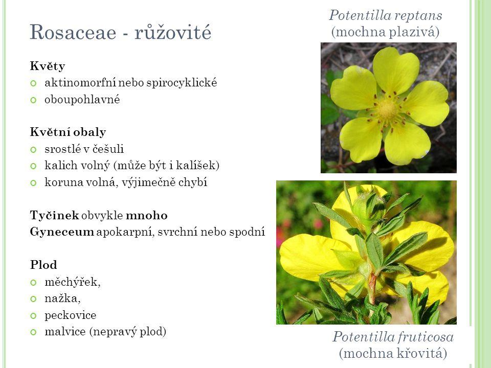 Květy aktinomorfní nebo spirocyklické oboupohlavné Květní obaly srostlé v češuli kalich volný (může být i kalíšek) koruna volná, výjimečně chybí Tyčin