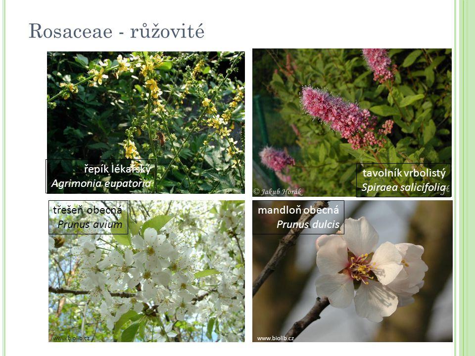 třešeň obecná Prunus avium tavolník vrbolistý Spiraea salicifolia mandloň obecná Prunus dulcis řepík lékařský Agrimonia eupatoria www.biolib.cz Rosace