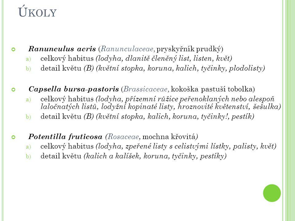 Ú KOLY Ranunculus acris ( Ranunculaceae, pryskyřník prudký) a) celkový habitus (lodyha, dlanitě členěný list, listen, květ) b) detail květu (B) (květn