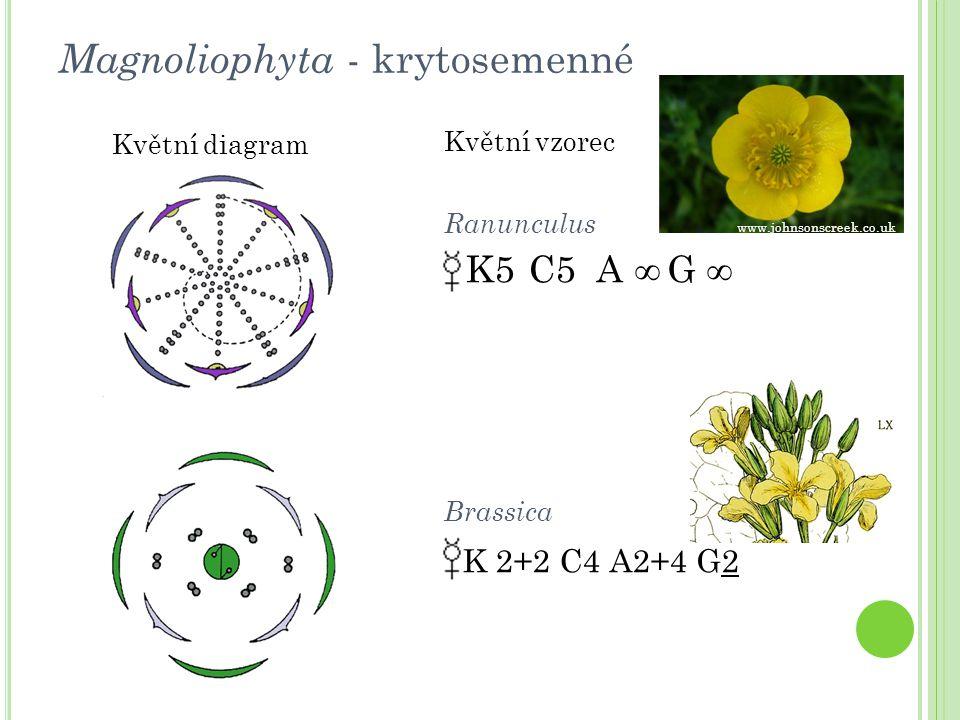 Actaea spicata (samorostlík klasnatý)