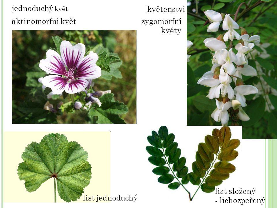 zygomorfní květy list jednoduchý jednoduchý květ květenství aktinomorfní květ list složený - lichozpeřený