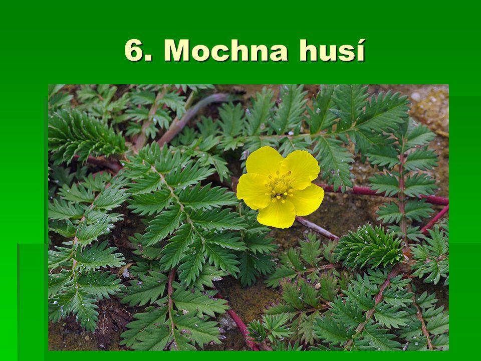 6. Mochna husí