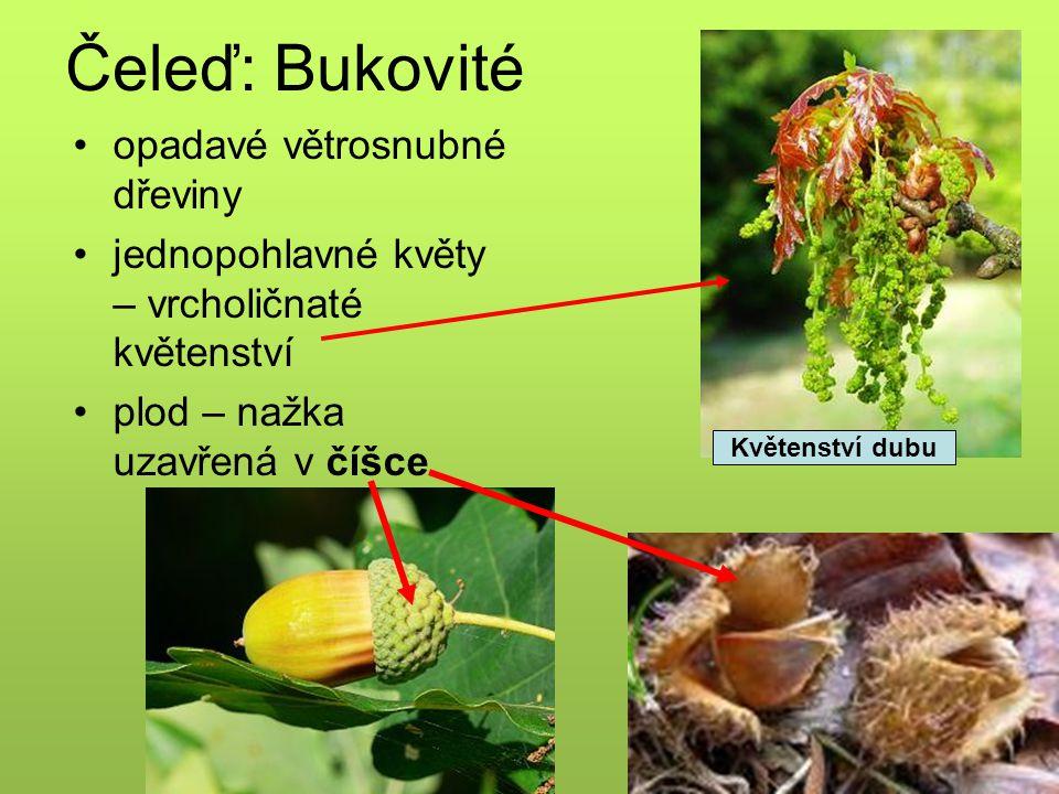Čeleď: Bukovité opadavé větrosnubné dřeviny jednopohlavné květy – vrcholičnaté květenství plod – nažka uzavřená v číšce Květenství dubu