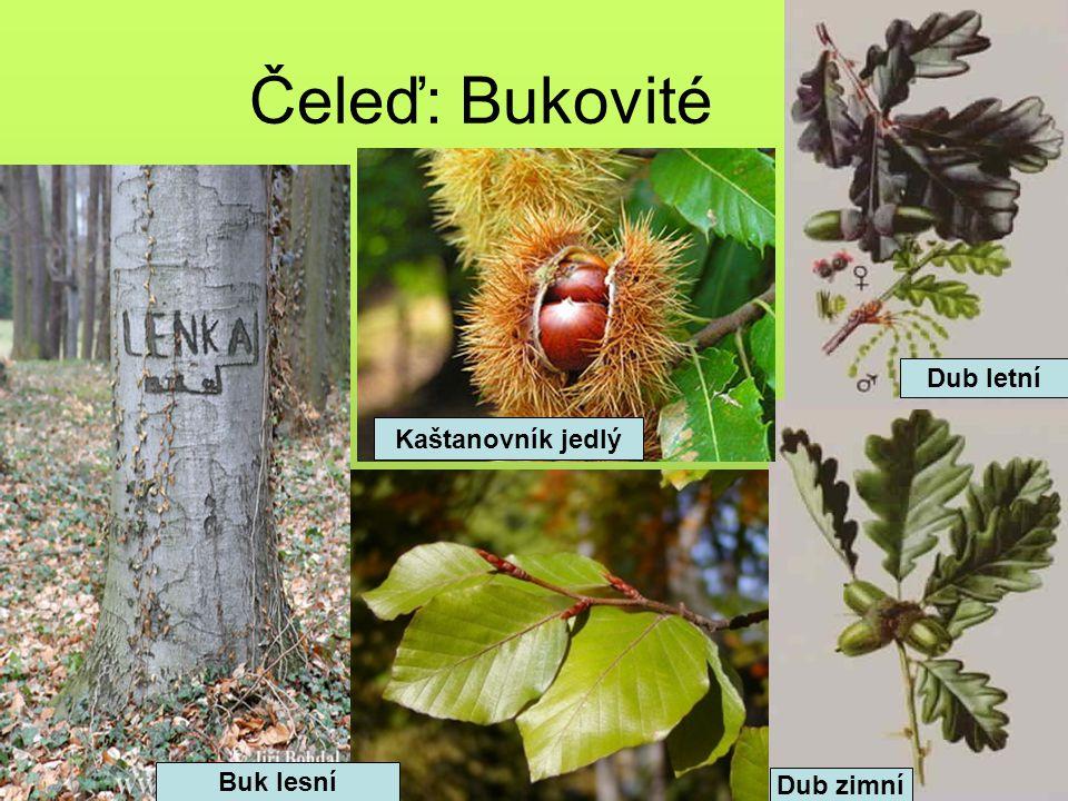 Čeleď: Bukovité Buk lesní Dub letní Dub zimní Kaštanovník jedlý