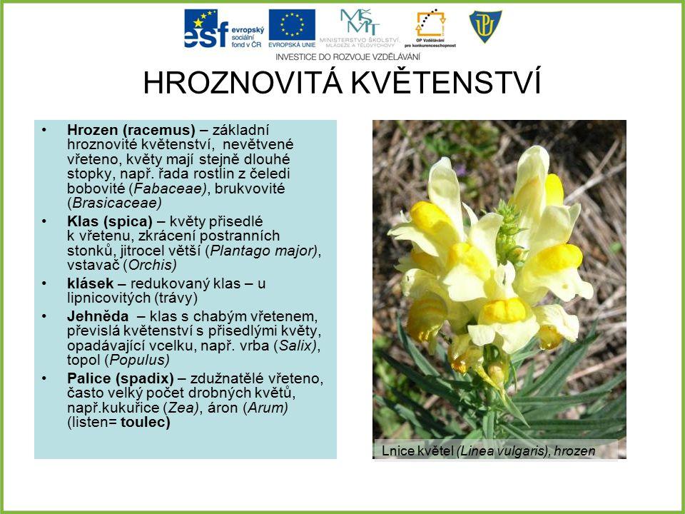 HROZNOVITÁ KVĚTENSTVÍ Hrozen (racemus) – základní hroznovité květenství, nevětvené vřeteno, květy mají stejně dlouhé stopky, např. řada rostlin z čele