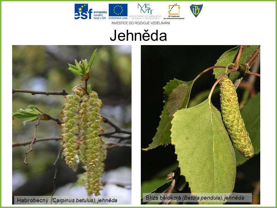 Jehněda Habr obecný (Carpinus betulus), jehněda Bříza bělokorá (Betula pendula), jehněda