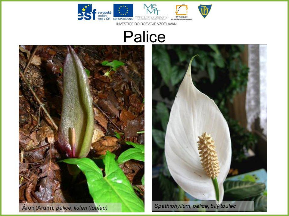 Palice Árón (Arum), palice, listen (toulec) Spathiphyllum, palice, bílý toulec