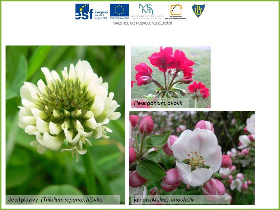 Jetel plazivý (Trifolium repens), hlávka Pelargonium, okolík jabloň (Malus), chocholík