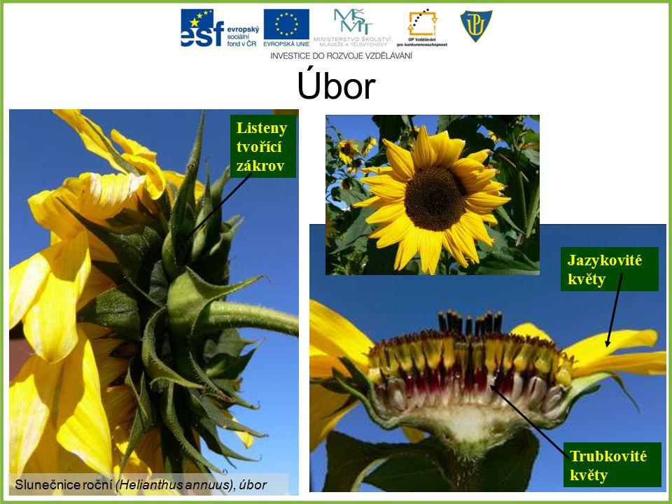 Úbor Slunečnice roční (Helianthus annuus), úbor Jazykovité květy Trubkovité květy Listeny tvořící zákrov