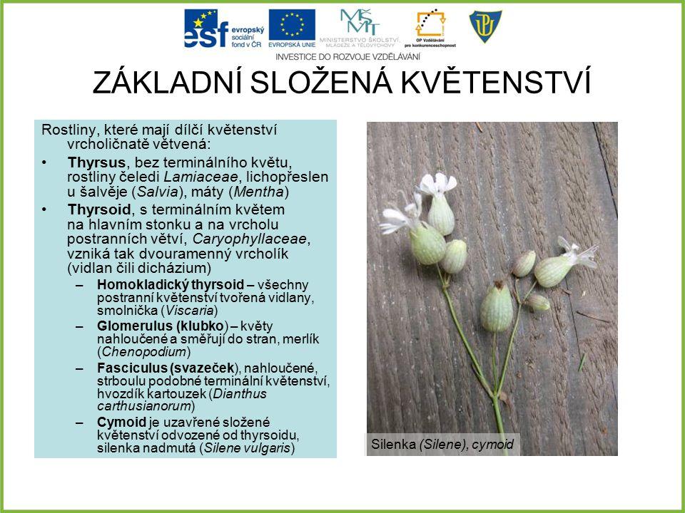 ZÁKLADNÍ SLOŽENÁ KVĚTENSTVÍ Rostliny, které mají dílčí květenství vrcholičnatě větvená: Thyrsus, bez terminálního květu, rostliny čeledi Lamiaceae, li